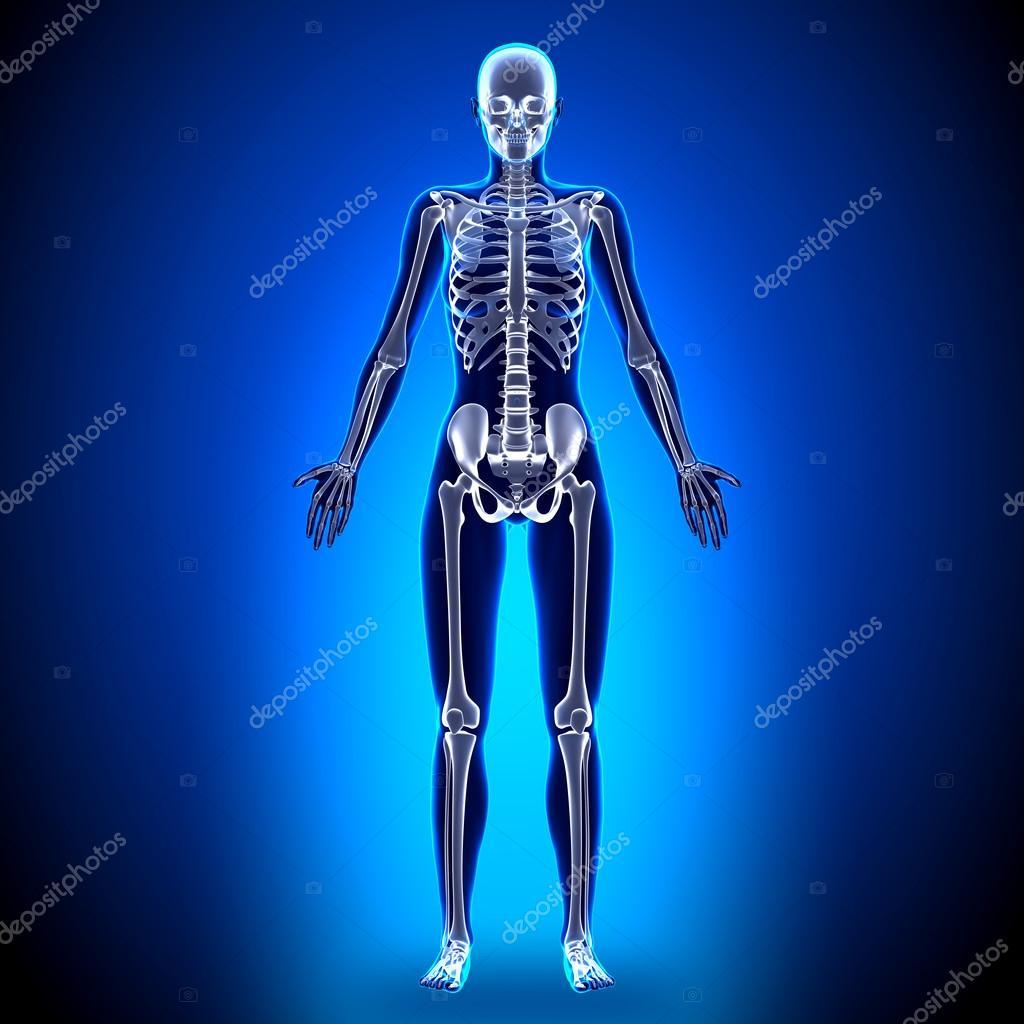 Esqueleto completo mujer - anatomía de huesos — Foto de stock ...