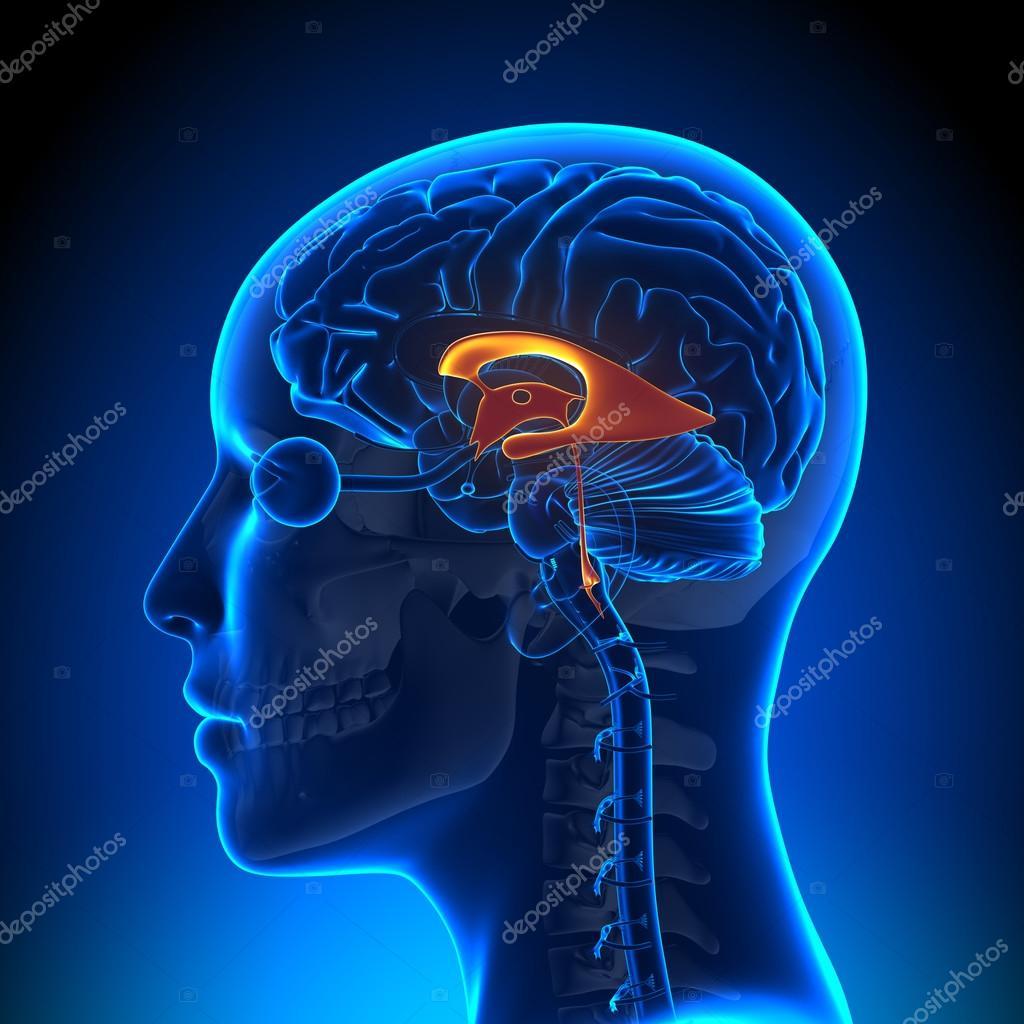 Weibliche Ventrikel - Anatomie Gehirn — Stockfoto © decade3d #58732755
