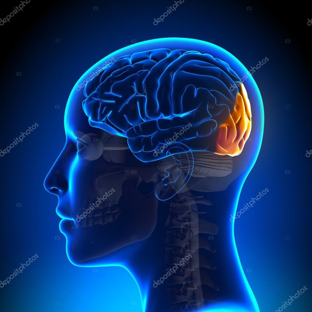 Female Occipital Lobe - Anatomy Brain — Stock Photo © decade3d #58732785