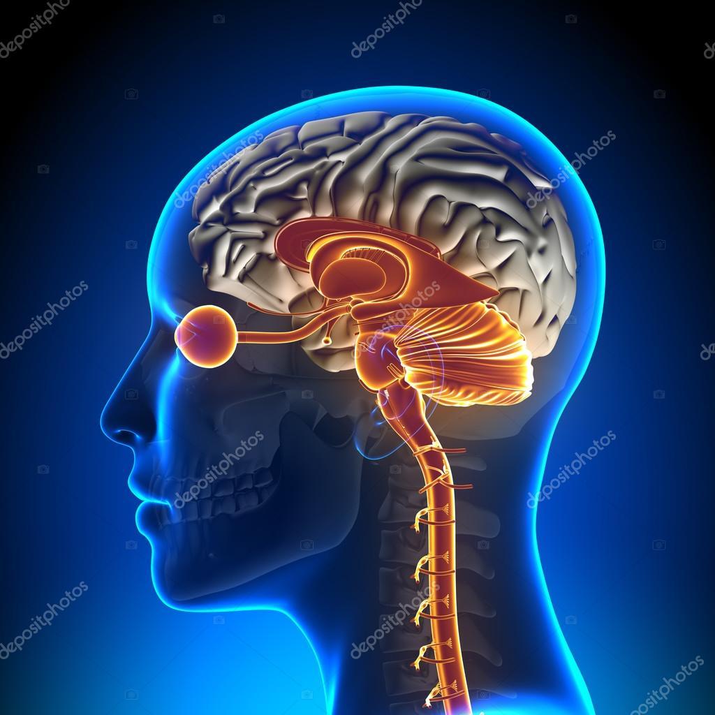 Brain Stem, Cerebellum, Optical Nerve, Female Brain Anatomy — Stock ...