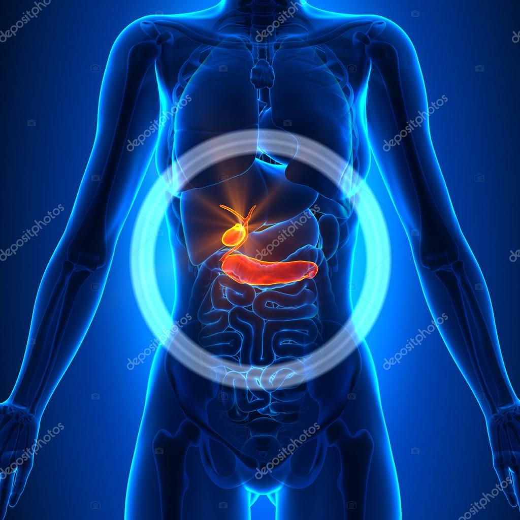 Gallbladder, Pancreas - Female Organs - Human Anatomy — Stock Photo ...