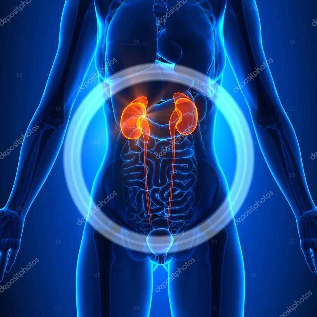 Riñones - órganos femeninos - anatomía humana — Foto de stock ...