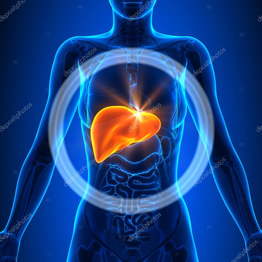 Leber - weibliche Organe - menschliche Anatomie — Stockfoto ...