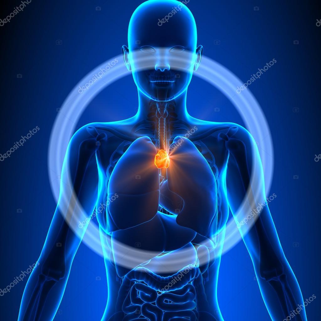Thymus - Female Organs - Human Anatomy — Stock Photo © decade3d ...