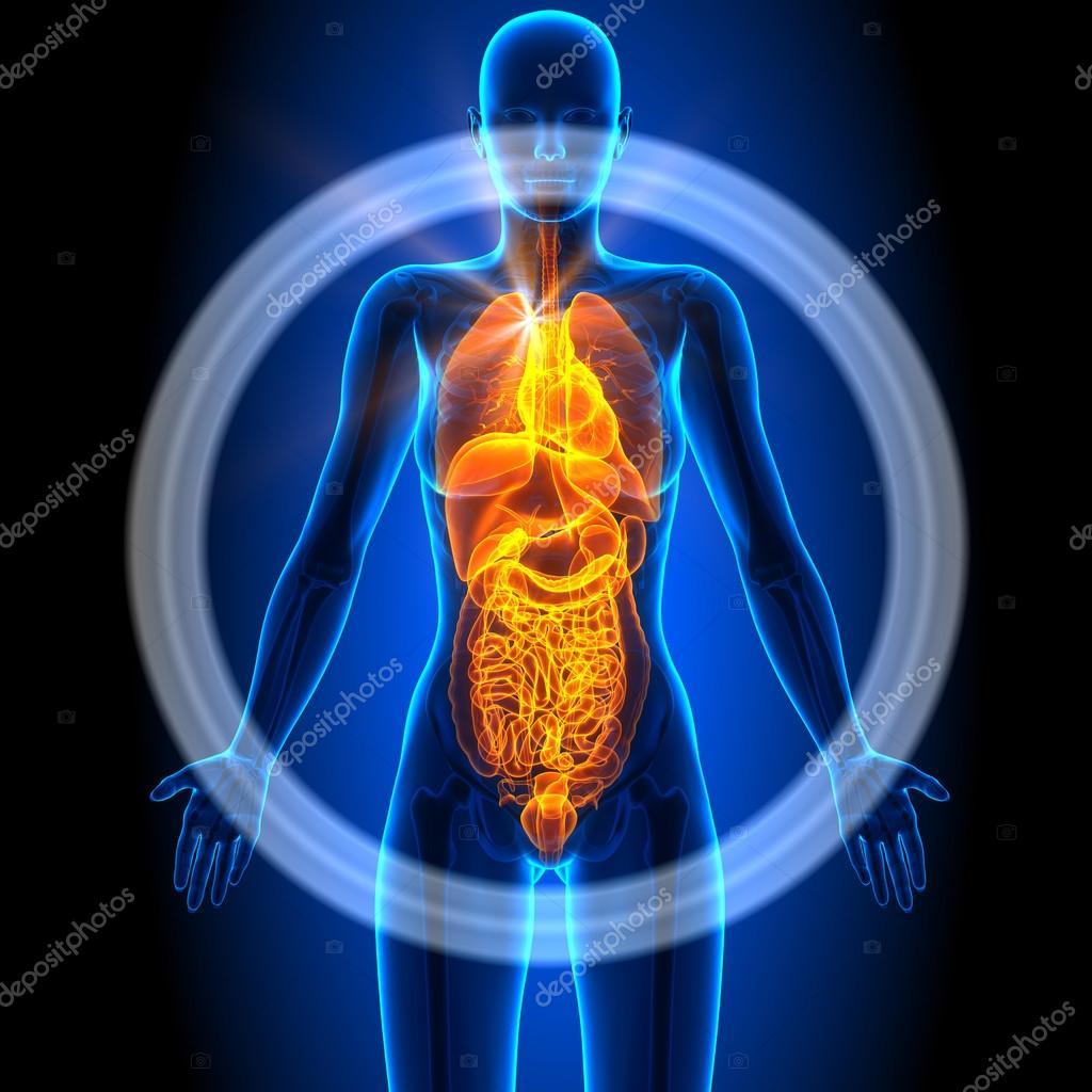 All Female Organs Human Anatomy Stock Photo Decade3d 58733601