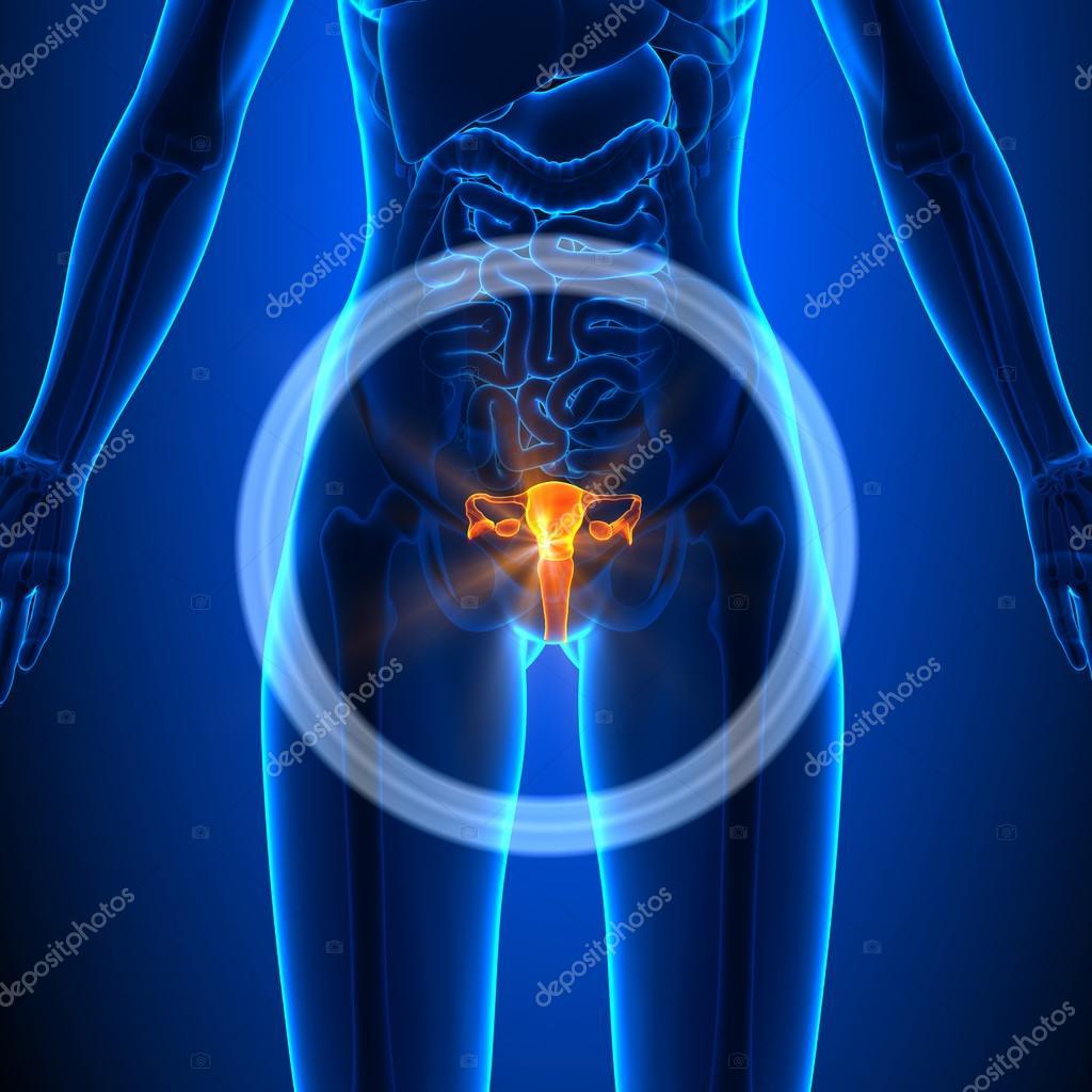 Sistema reproductivo - órganos femeninos - anatomía humana — Foto de ...
