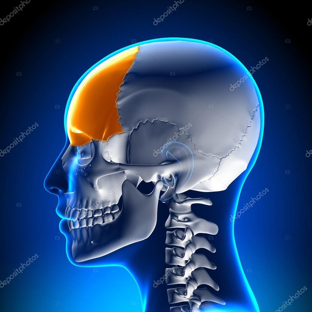 Female Frontal Bone - Skull, Cranium Anatomy — Stock Photo ...