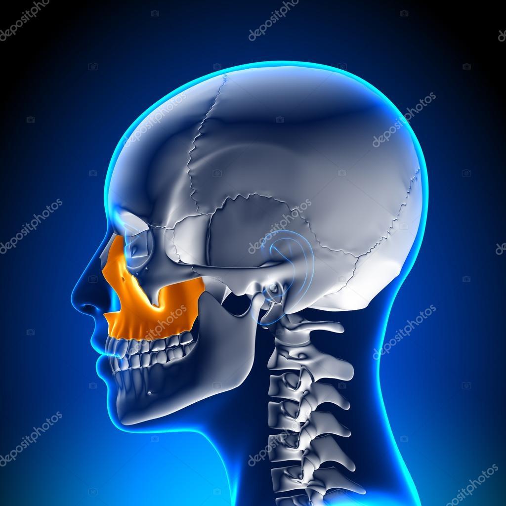 Maxilar superior femenino - anatomía del cráneo — Foto de stock ...
