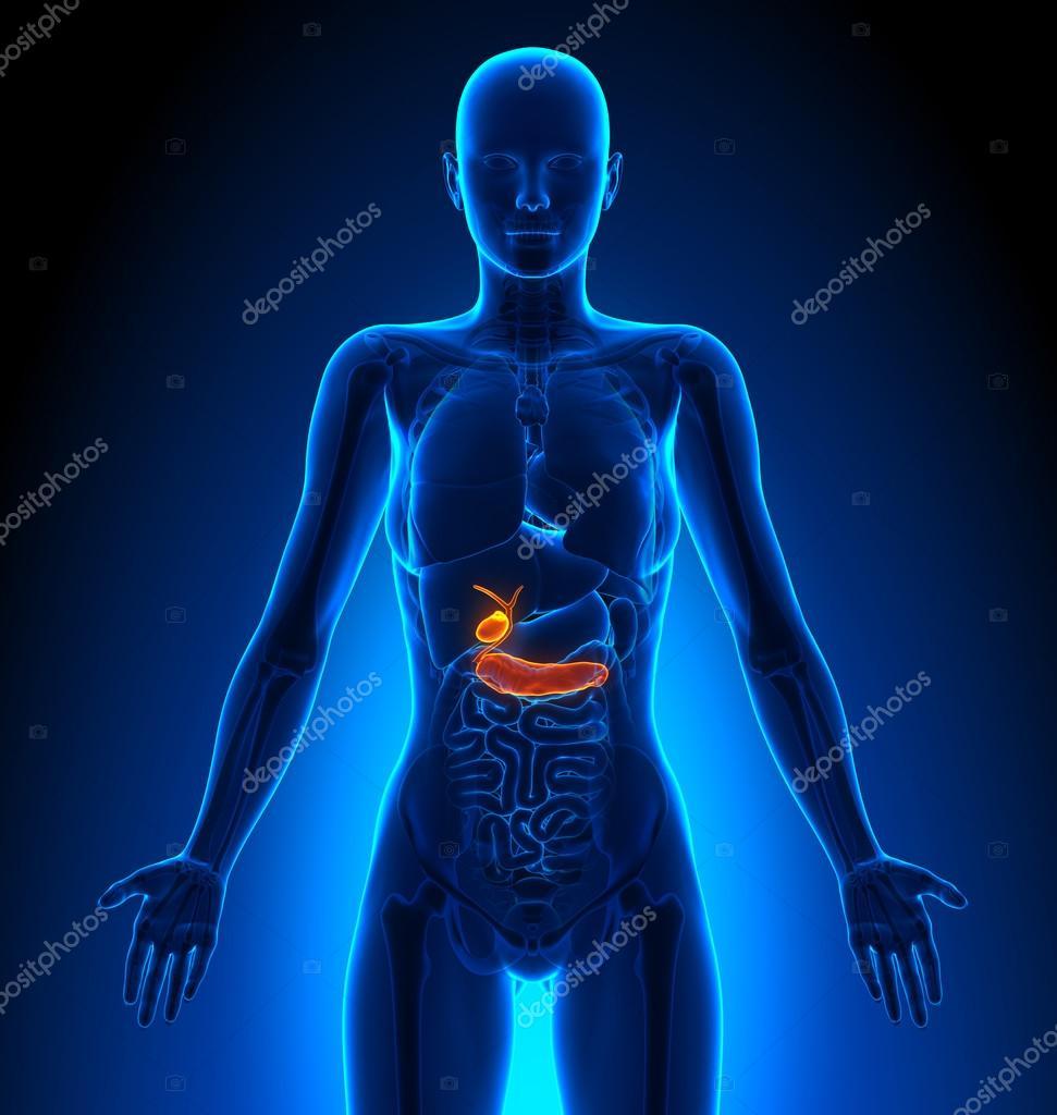 Vesícula biliar, páncreas - órganos femeninos - anatomía humana ...