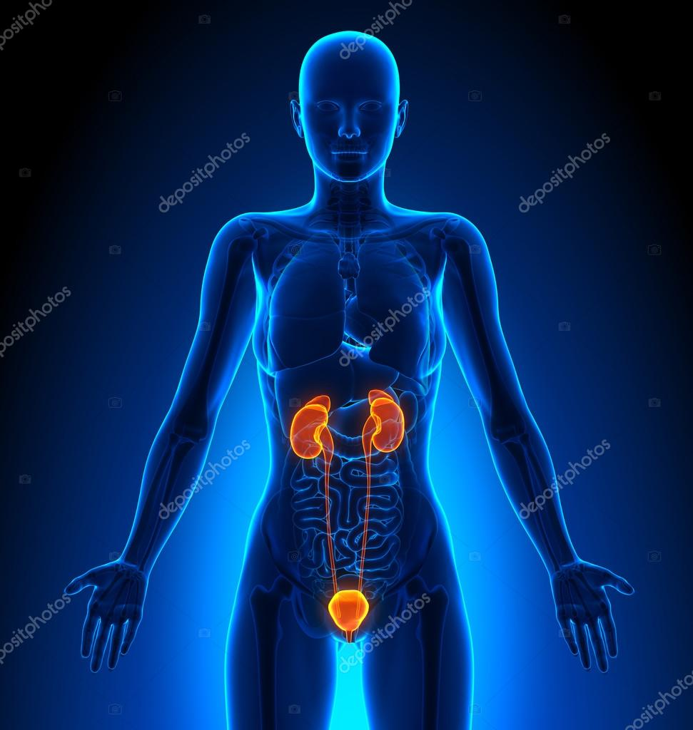Urinary System Female Organs Human Anatomy Stock Photo