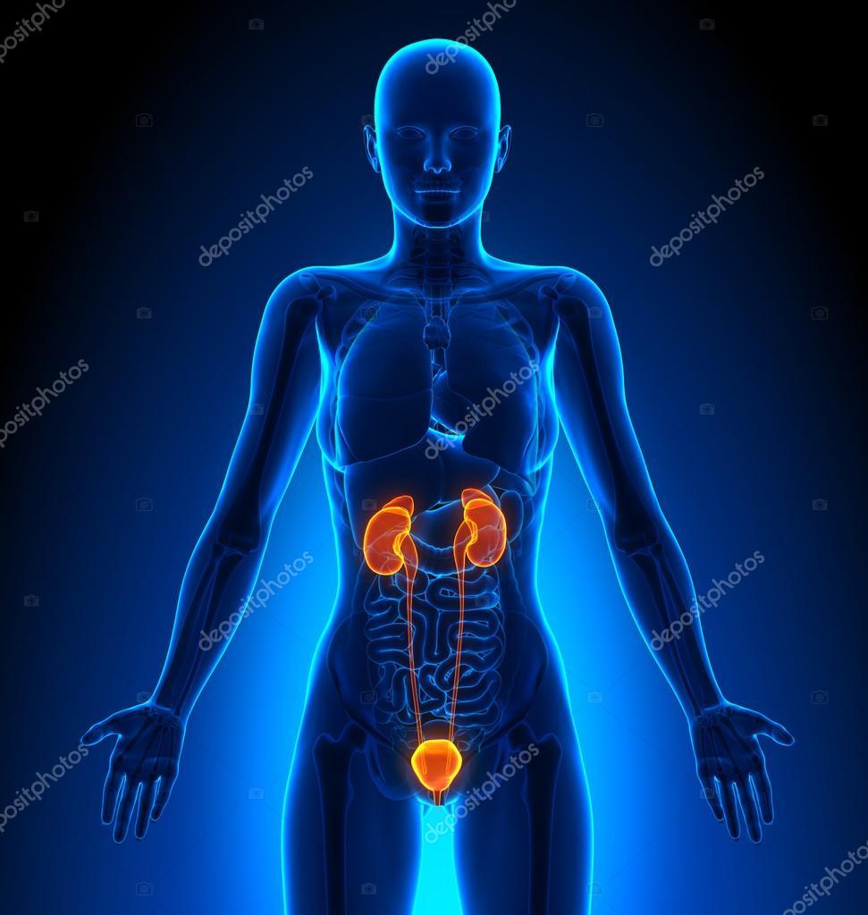 Sistema urinario - órganos femeninos - anatomía humana — Foto de ...