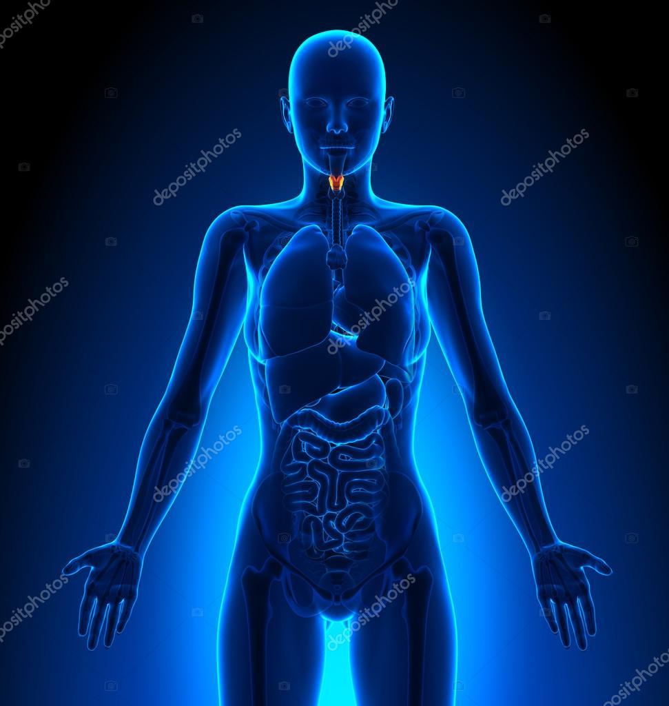 Kehlkopf - weibliche Organe - menschliche Anatomie — Stockfoto ...