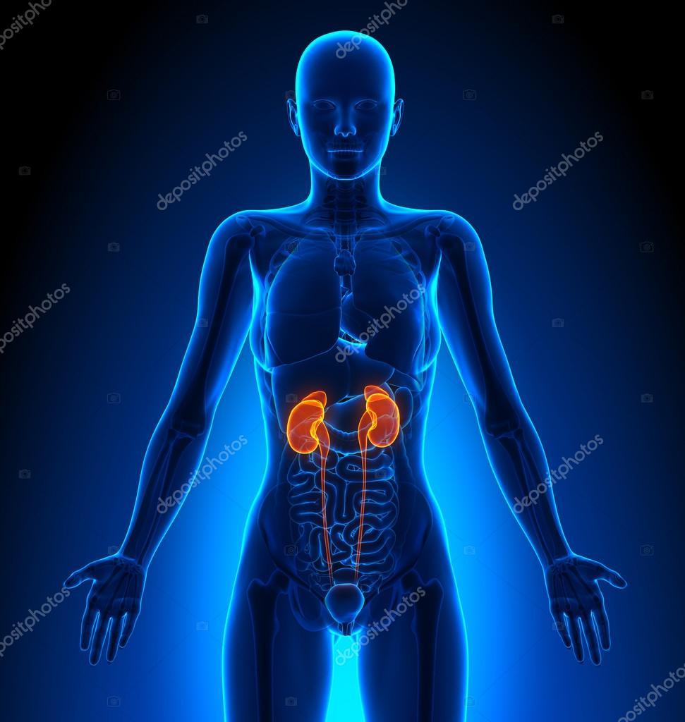 Nieren - weibliche Organe - menschliche Anatomie — Stockfoto ...