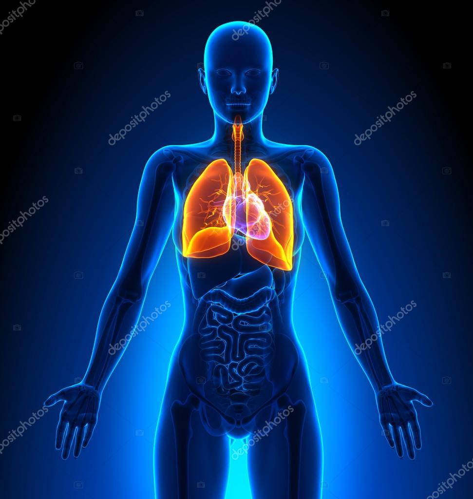 Lungen - weibliche Organe - menschliche Anatomie — Stockfoto ...