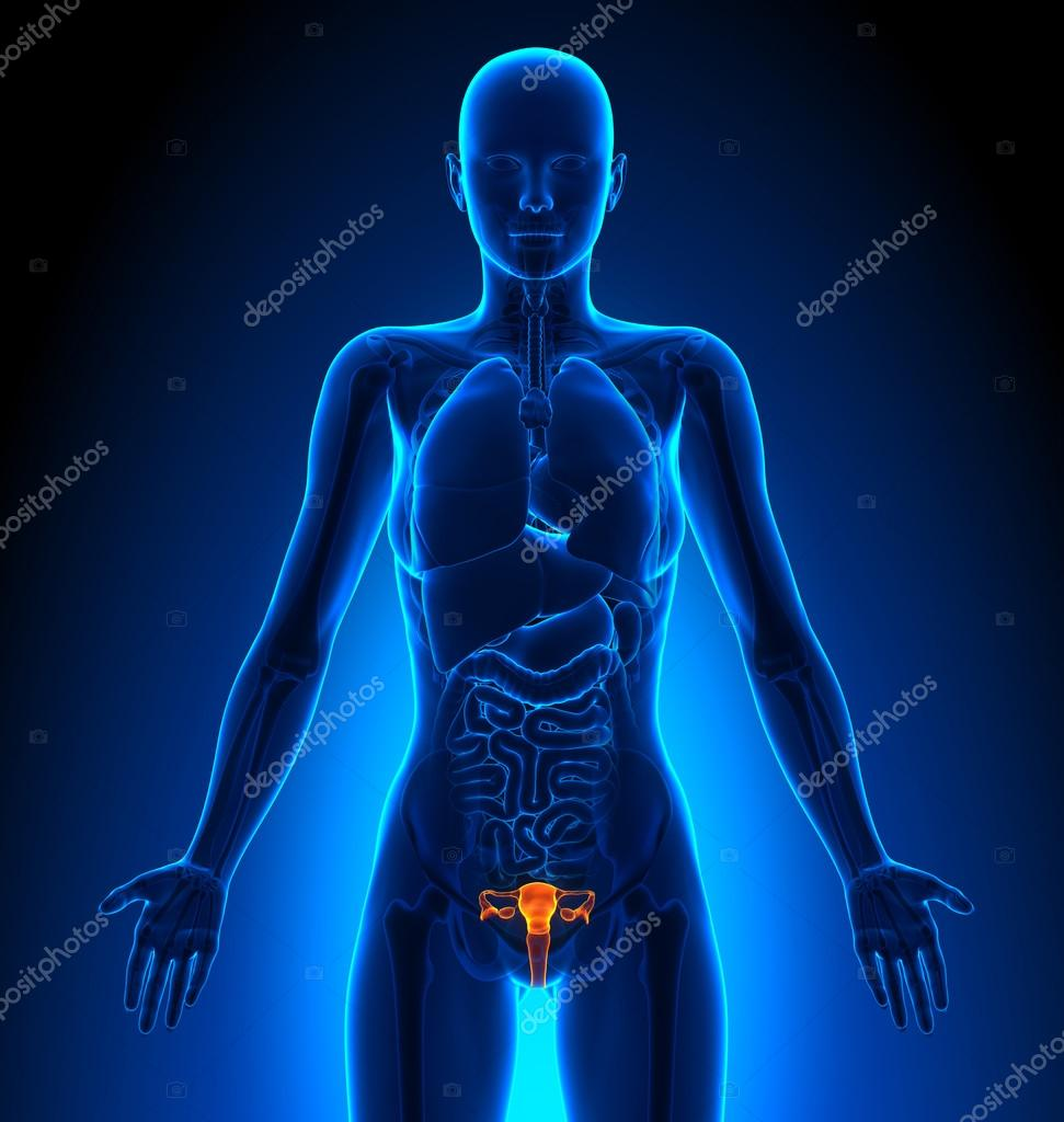 Reproductive System Female Organs Human Anatomy Stock Photo
