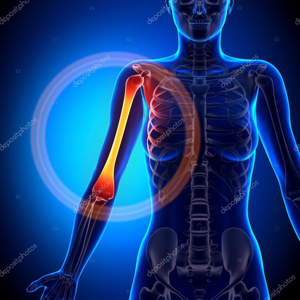 Weibliche Humerus - Anatomie Bones — Stockfoto © decade3d #58734745