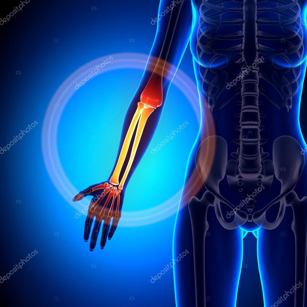 Mujer radio, cúbito - antebrazo - anatomía huesos — Fotos de Stock ...