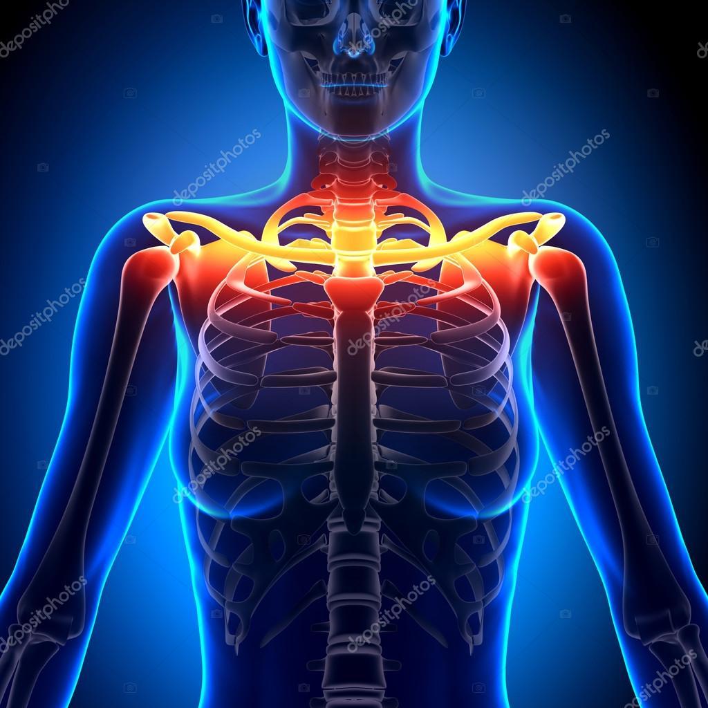 Schlüsselbein Knochen Anatomie - Anatomie Knochen — Stockfoto ...