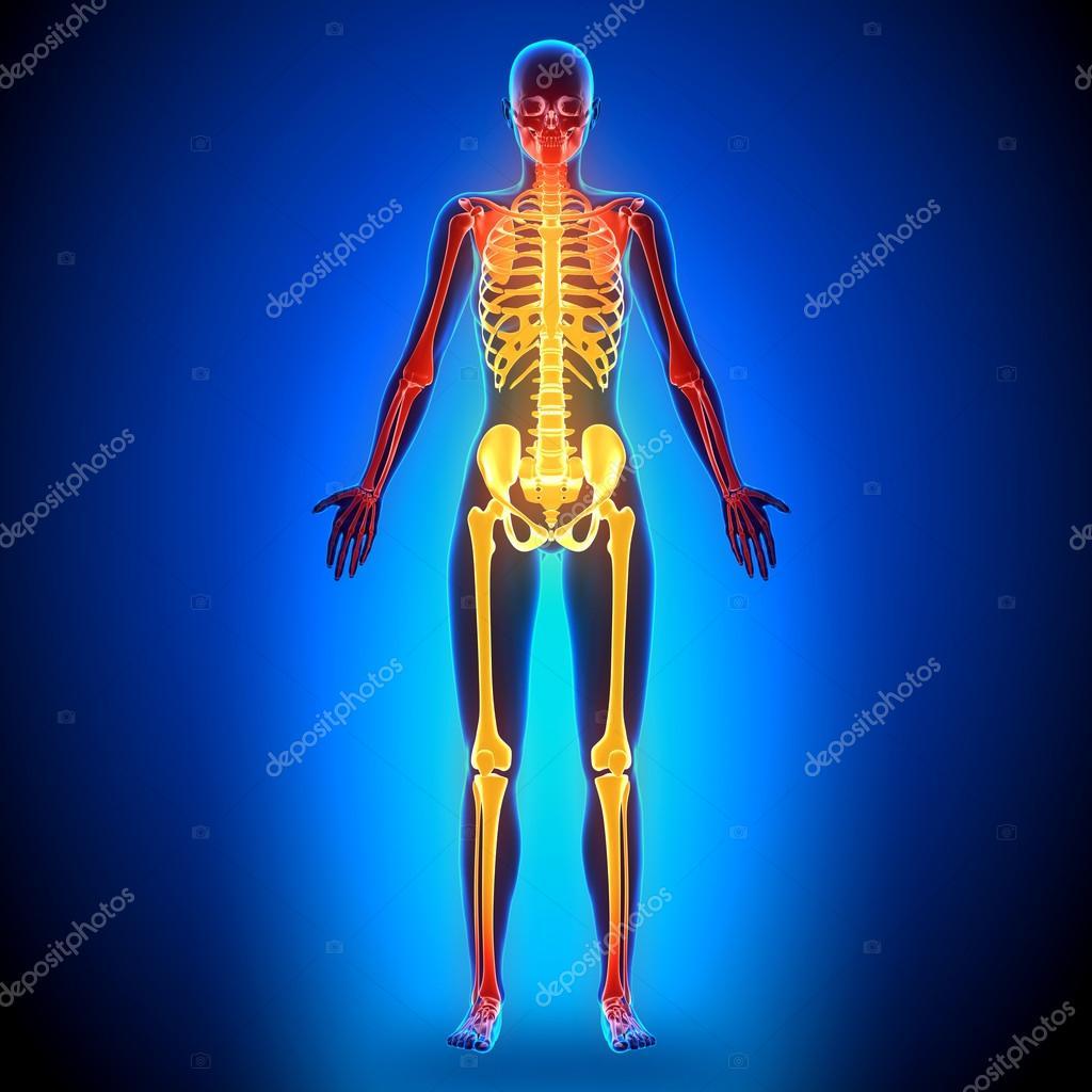 Weibliche vollständige Skelett - Anatomie Bones — Stockfoto ...