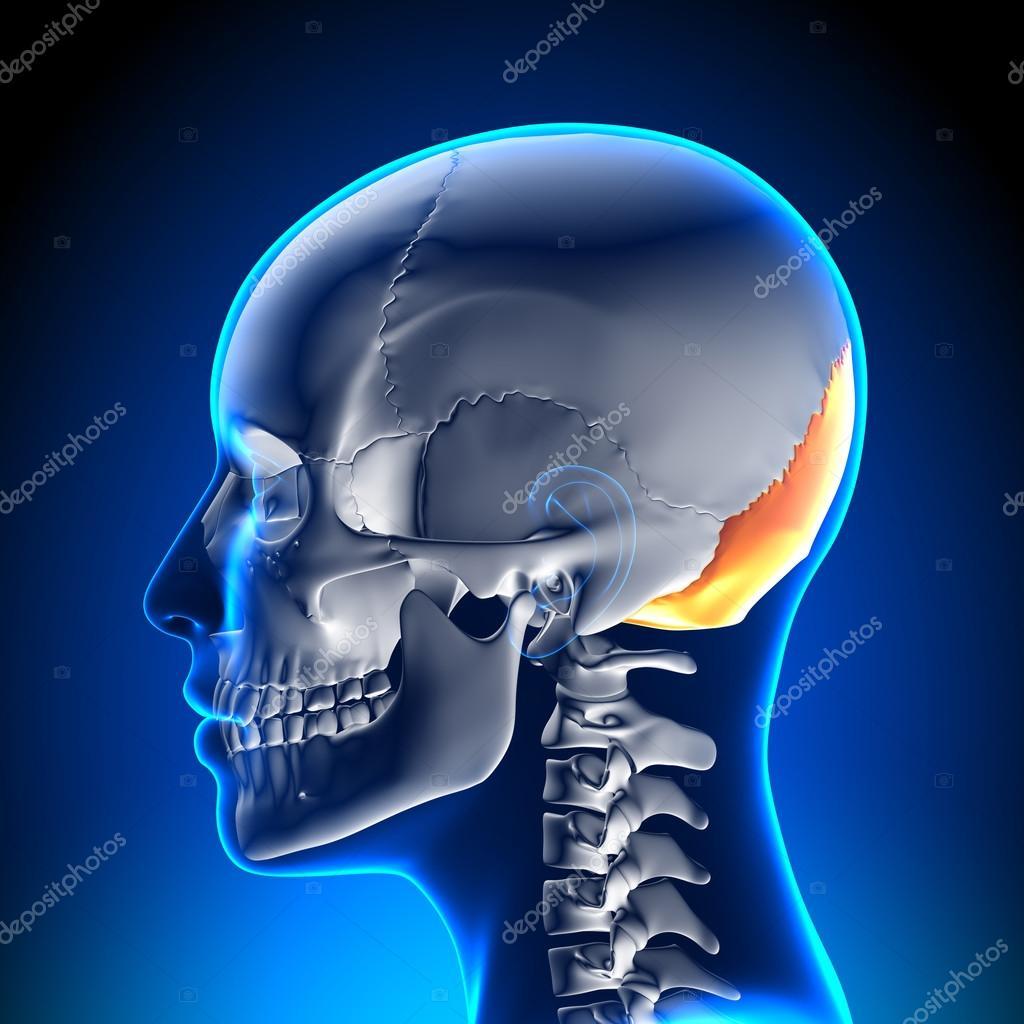 Cráneo femenino, cráneo - hueso Occipital — Foto de stock © decade3d ...