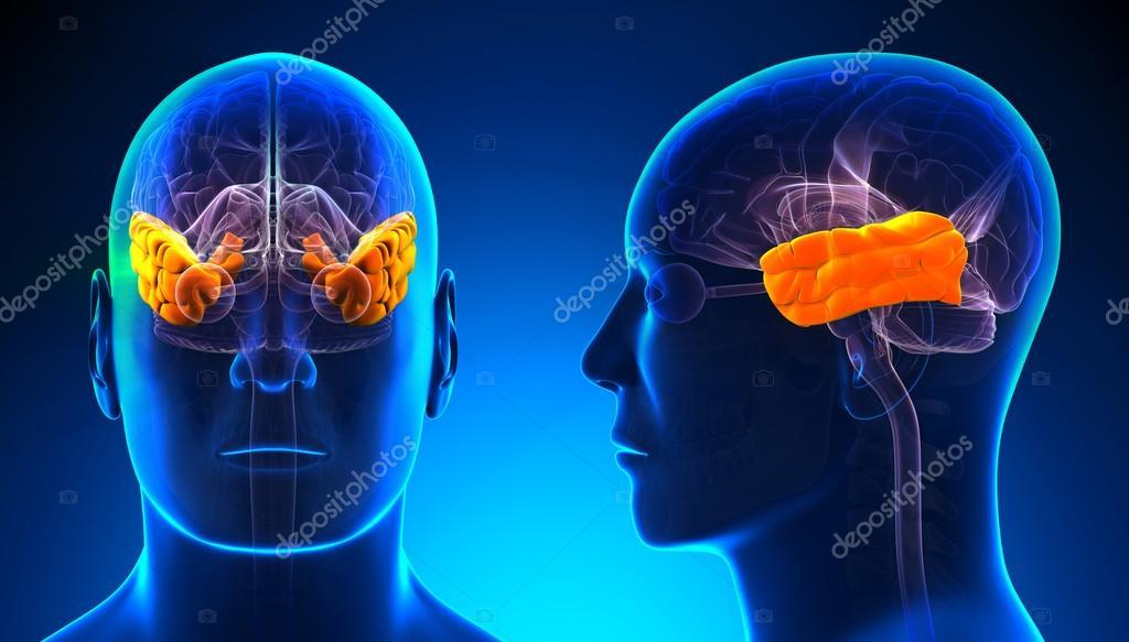 the male brain pdf free download