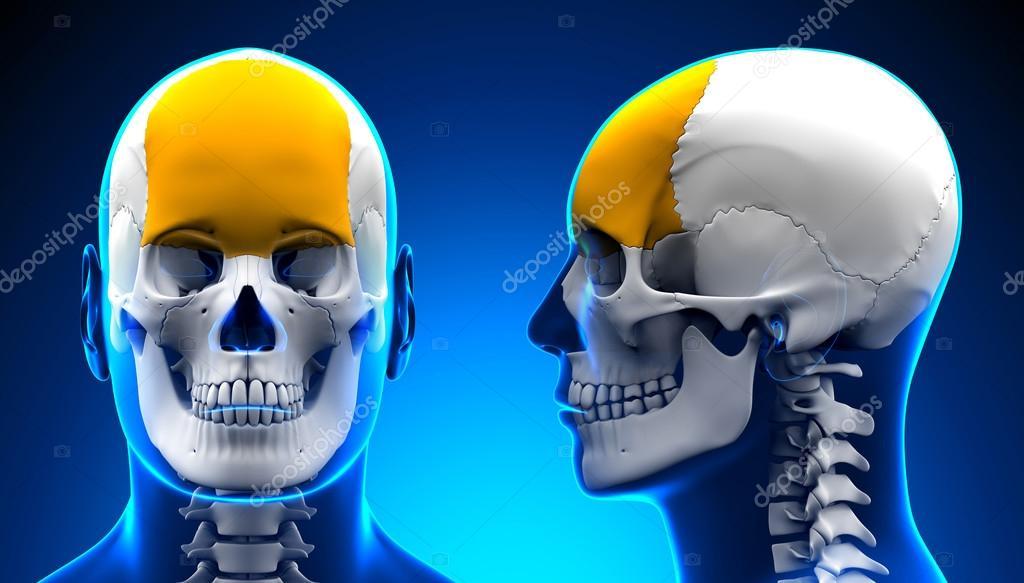 Anatomía masculina del cráneo del hueso Frontal - azul concepto ...