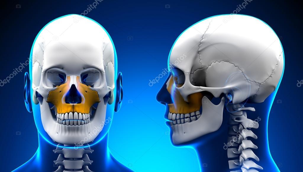 Hombre maxilar hueso cráneo anatomía - concepto azul — Foto de stock ...