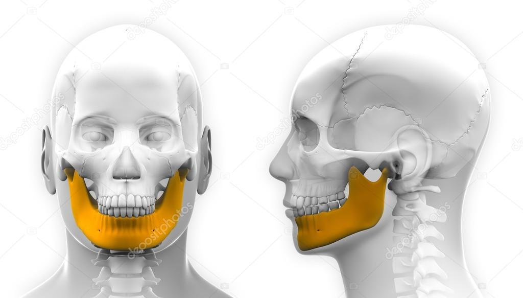 Resultado de imagem para mandibula