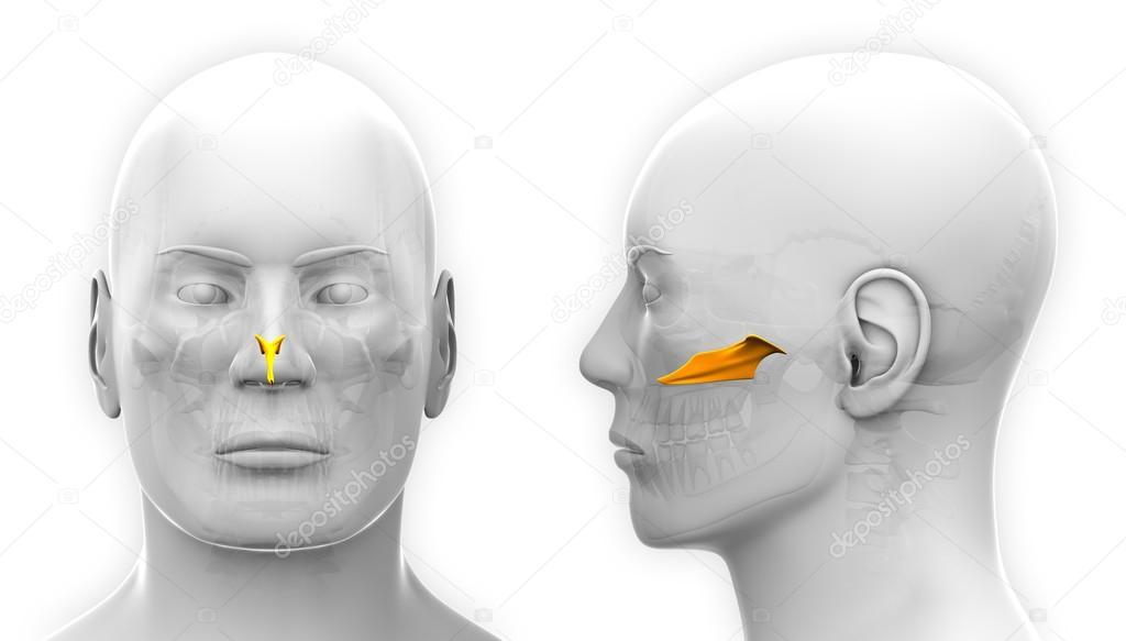Vomer cráneo anatomía masculina - aislado en blanco — Foto de stock ...