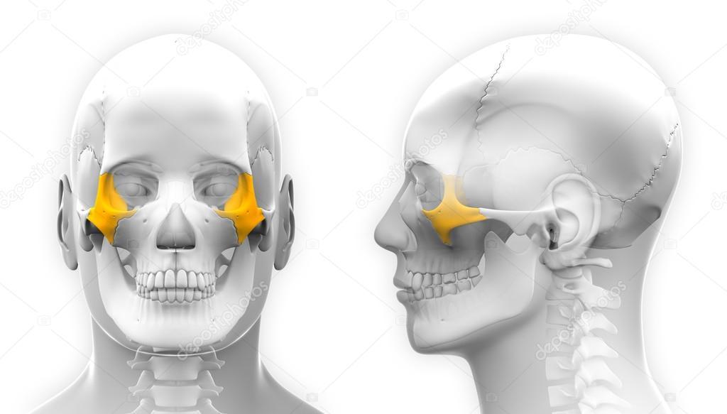Hueso cigomático cráneo anatomía masculina - aislado en blanco ...