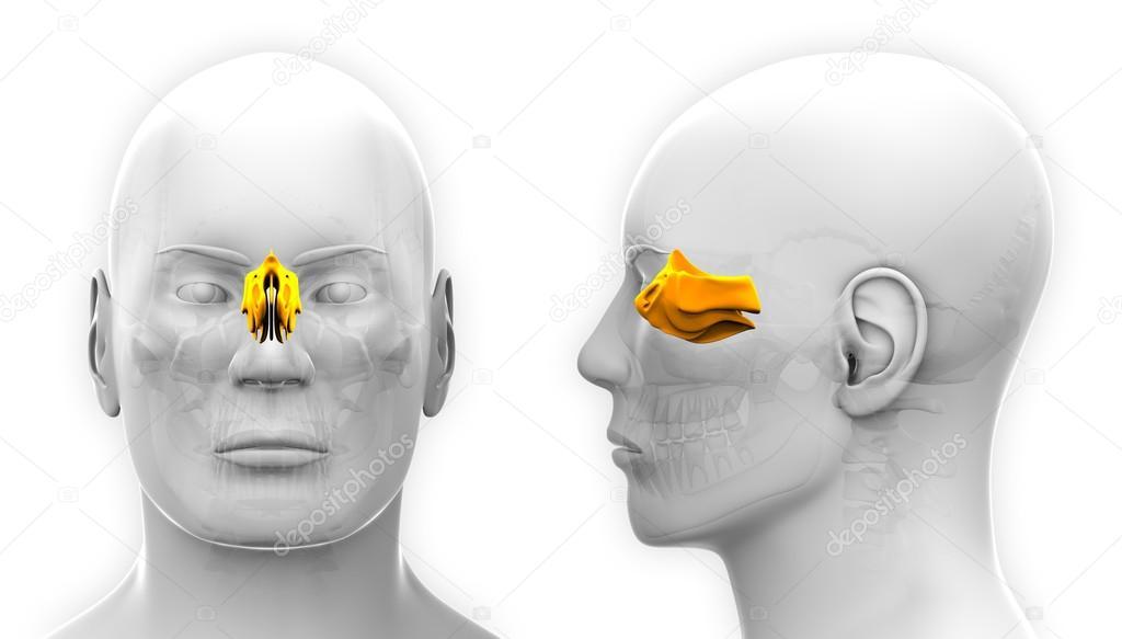 Male Ethmoid Skull Anatomy - isolated on white — Stock Photo ...