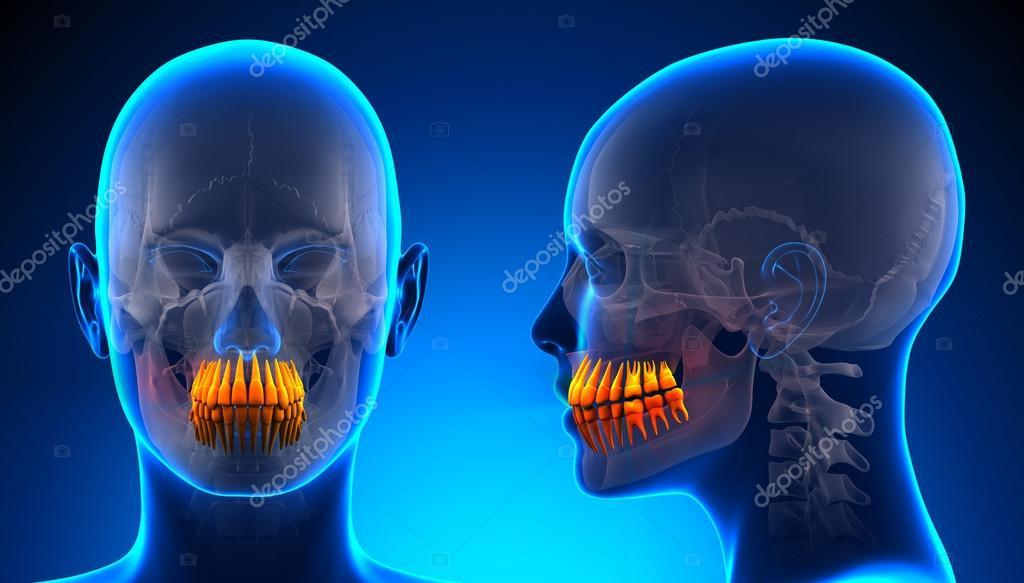 Mujer anatomía Dental de dientes - concepto azul — Foto de stock ...