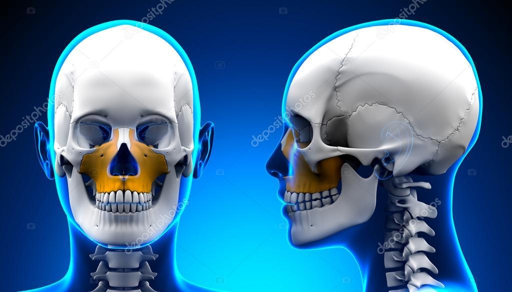 Anatomía de cráneo de hueso maxilar femenina - concepto azul — Fotos ...