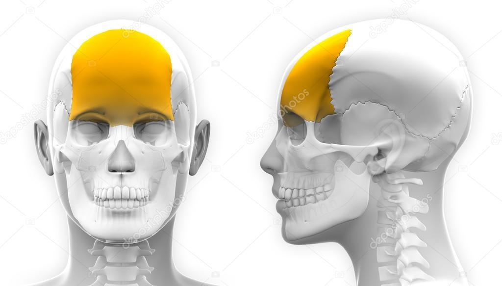 Weibliche Stirnbein Schädel Anatomie - isoliert auf weiss ...