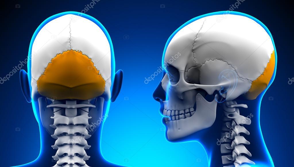 Anatomía femenina del cráneo del hueso Occipital - concepto azul ...