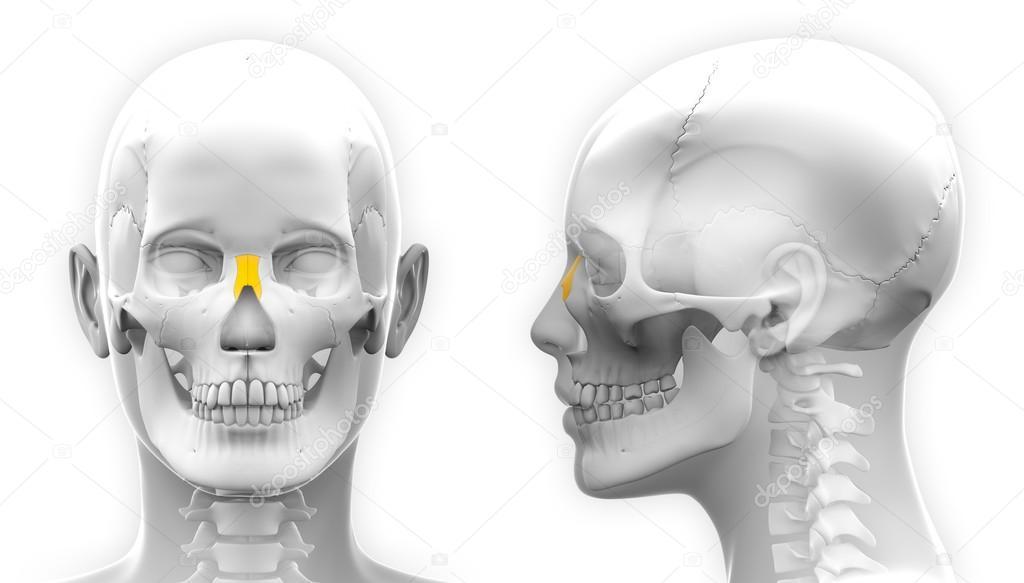 Female Nasal Bone Skull Anatomy - isolated on white — Stock Photo ...