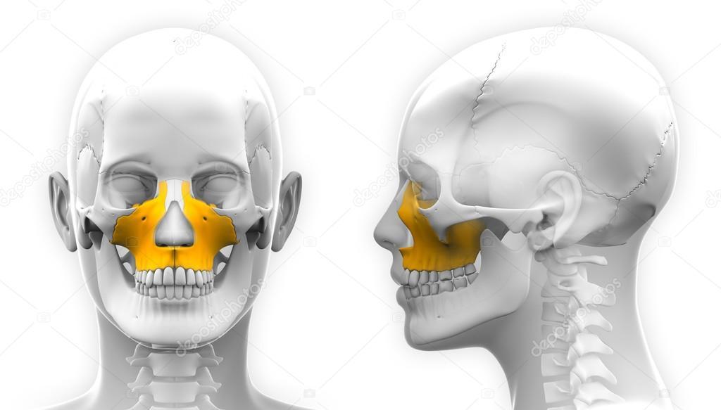 Weibliche Oberkiefer Knochen Schädel Anatomie - isoliert auf weiss ...