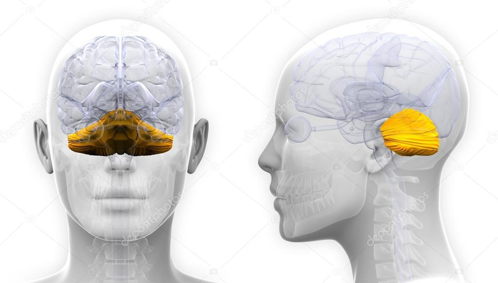 Weibliche Anatomie der Kleinhirn-Gehirn - isoliert auf weiss ...