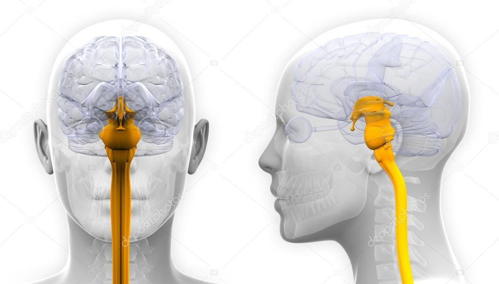 Médula espinal cerebro anatomía femenina - aislado en blanco — Foto ...