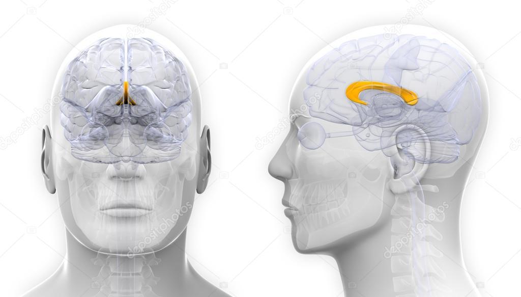 Männlichen Corpus Callosum Gehirn Anatomie - isoliert auf weiss ...