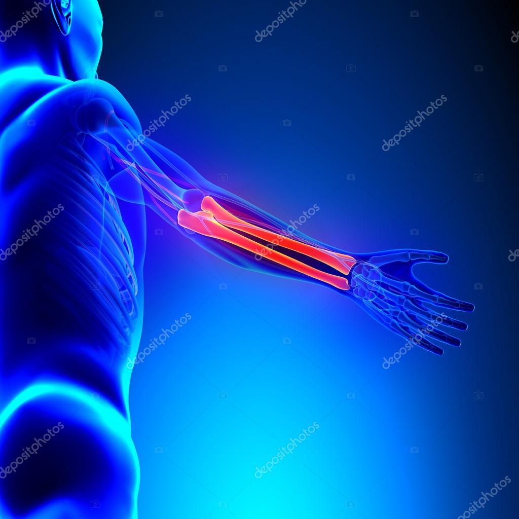 Radius Ulna Bones Anatomy with Circulatory System — Stock Photo ...