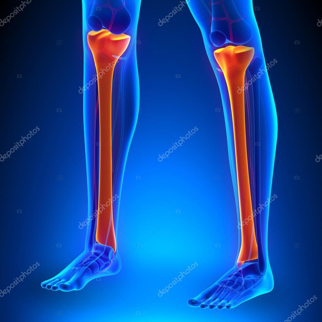 Huesos de anatomía de la tibia con el sistema de Ciculatory — Foto ...