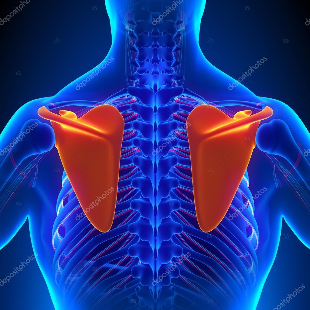 Anatomía de hueso omóplato con sistema circulatorio — Foto de stock ...