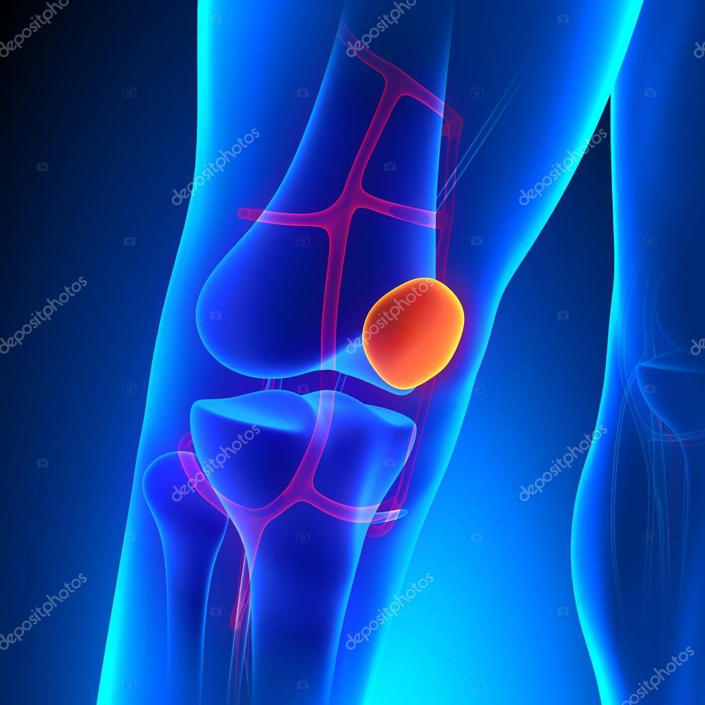 Rótula hueso de rodilla de anatomía con sistema Ciculatory — Foto de ...