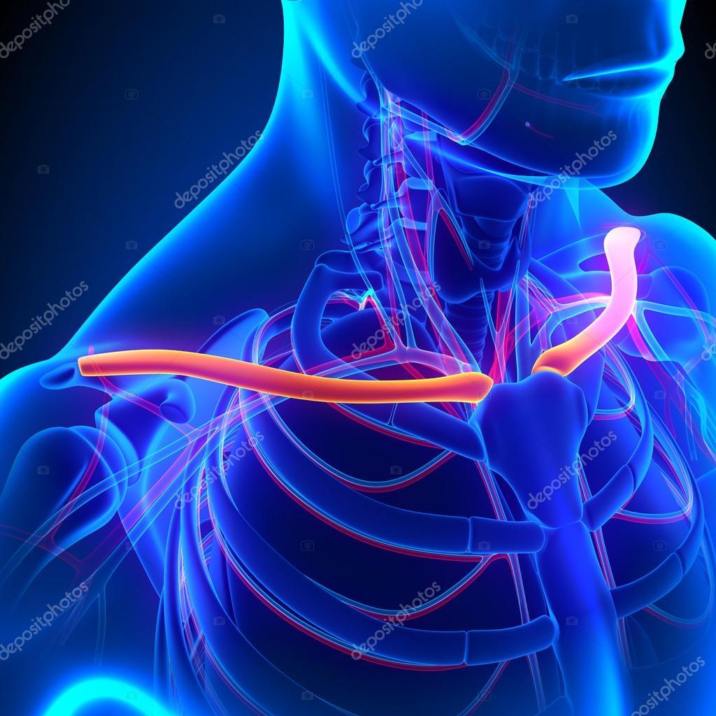 Clavícula hueso anatomía con sistema circulatorio — Foto de stock ...