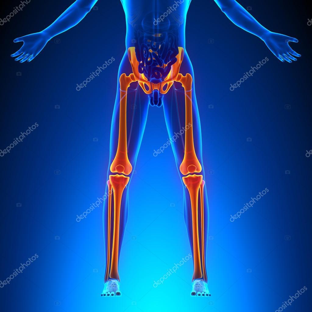 Anatomía de las piernas de los huesos — Fotos de Stock © decade3d ...