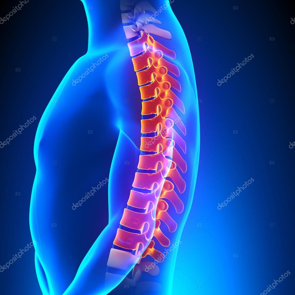 Thoracic Spine Anatomy Pain Concept Stock Photo Decade3d 64689101