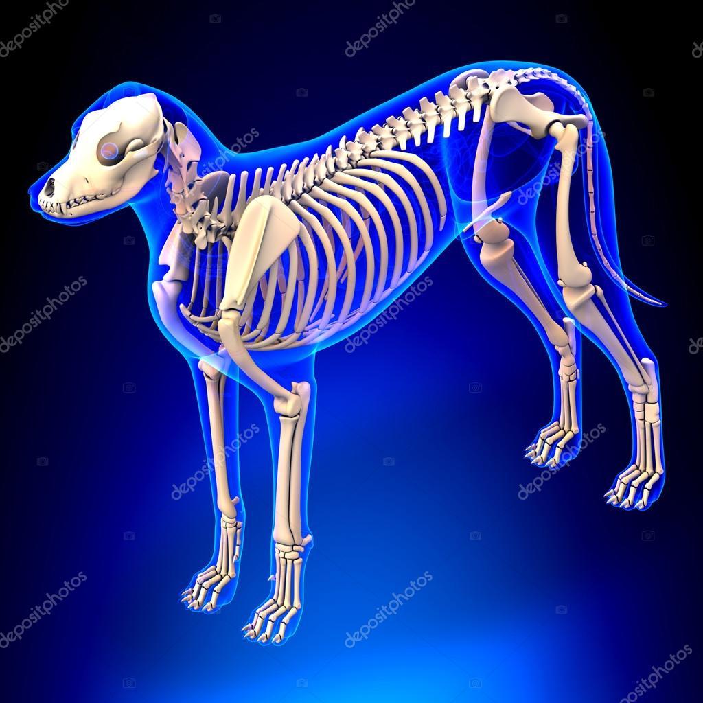 Vista en perspectiva - Canis Lupus Familiaris anatomía - esqueleto ...