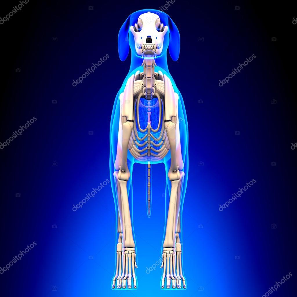 Vista frontal del esqueleto - Canis Lupus Familiaris Anatomía - para ...