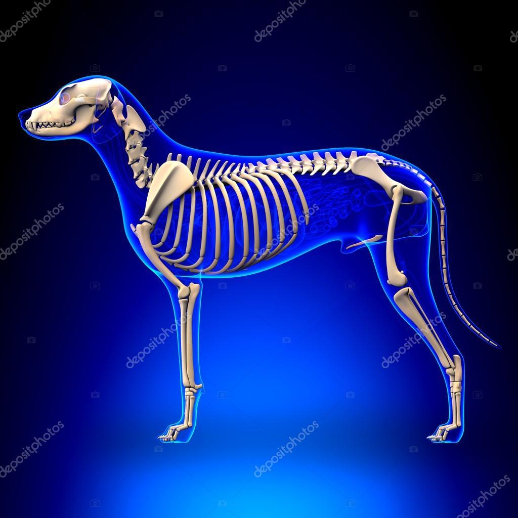 Hund Skelett - Canis Lupus Familiaris Anatomie - Seitenansicht ...